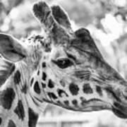 Giraffe Bw Poster