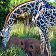 Giraffe Feasting Poster