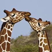 Giraffe Kisses Poster