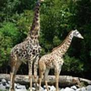 Giraffe, Male And Female Poster