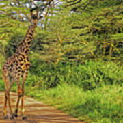 Giraffe On The Trail Poster