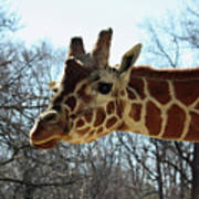 Giraffe Stretching For A View Poster