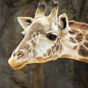 Giraffe Up Close Poster