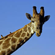 Giraffe With Oxpeckers Poster