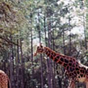 Giraffesgalore Poster