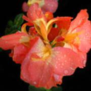 Gladiolus Bloom Poster