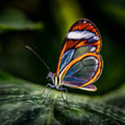 Glasswing Butterfly Iridescence  Poster