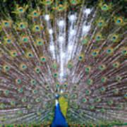 Glassy Peacock  Poster