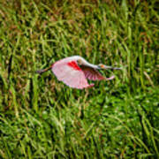 Gliding Spoonbill In Bayou Poster