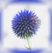 Globe Thistle With Vignette Poster