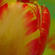 Globe Tulip Poster