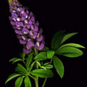 Glorious Purple Lupine Poster