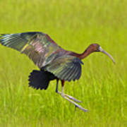 Glossy Ibis Poster