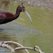 Glossy Ibis Feeding Poster