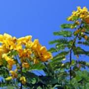 Glossy Shower Senna Tree Poster