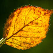 Glowing Autumn Leaf Poster