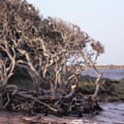 Gnarled Oak Trees Poster