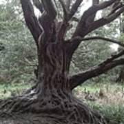 Gnarled Oak Poster