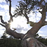Gnarled Pine Tree And Sun Poster