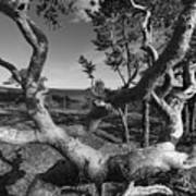 Gnarled Pine Tree At The Coast Poster
