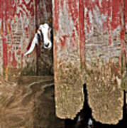 Goat And Old Barn Door Poster