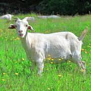Goat Portrait  Poster