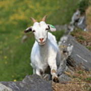 Goat Posing Poster