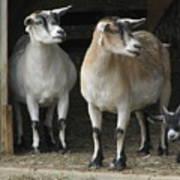 Goat Trio Poster