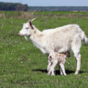 Goat With Just Born Little Goat Spring Scene Poster