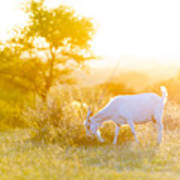 Goats Grazing At Sunset Poster