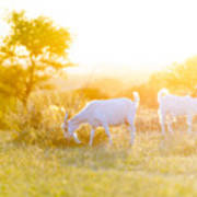 Goats Grazing In Field Poster