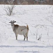 Goats In Snow Poster