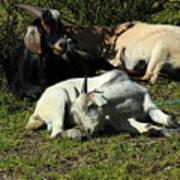 Goats Lying Under A Bush Poster