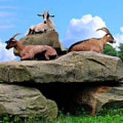 Goats On The Rock Poster