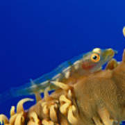 Goby On Wire Coral Poster