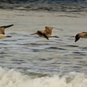 Bar Tailed Godwits Poster