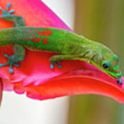 Gold Dust Day Gecko 3 Poster