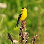 Gold Finches-4 Poster