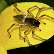 Golden Arachnid  Poster