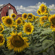 Golden Blooming Sunflowers With Red Barn Poster