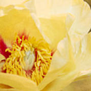 Golden Bowl Tree Peony Bloom Poster