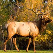 Golden Bull Elk Portrait Poster