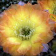 Golden Cactus Bloom Poster