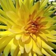 Golden Dahlia Beauty Poster