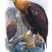 Golden Eagle Antique Print John Gould Birds Of Great Britain Poster