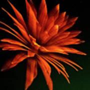 Golden Fireworks Flower Poster