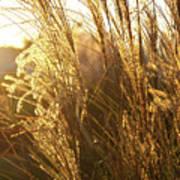 Golden Grass In Sunset Poster