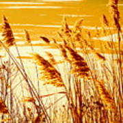 Golden Grasses Poster