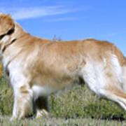 Golden Labrador - Cheemo Poster