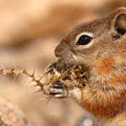 Golden-mantled Ground Squirrel Eating Prickly Spine Poster